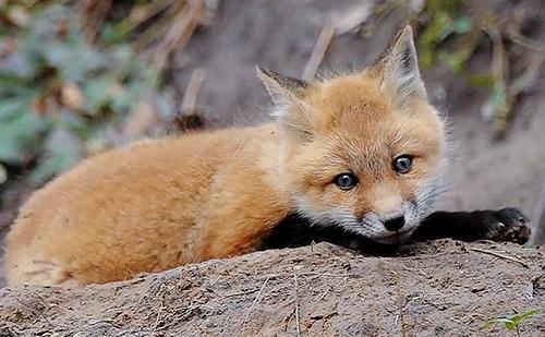 Действительно ли лисы хитрые, как в сказках? Интеллект лис Животные, Зоопсихология, Видео, Гифка, Длиннопост, Интересное, Лиса, Милота, Псовые