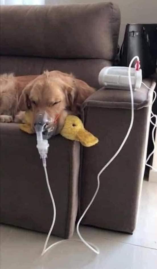Собака болеет астмой, но когда любимая уточка рядом - все будет хорошо