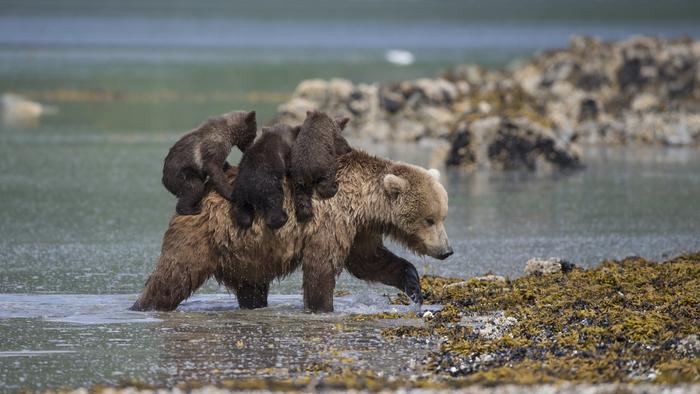 Медведь знает лишь один вид бега - наверняка!