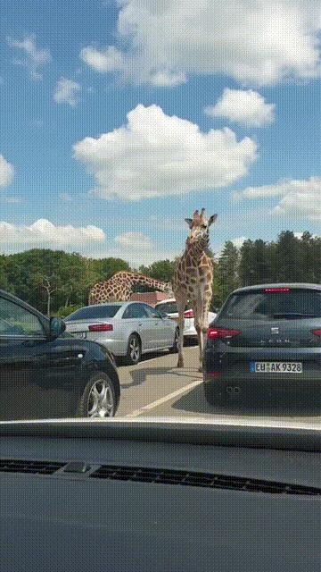Жирафы на свободе