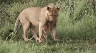 Не трогай, это на новый год!!! Лев, Животные, Юмор, Природа, Гифка