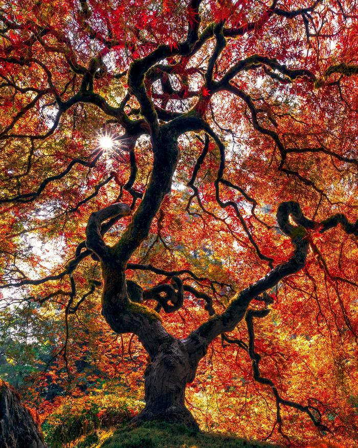 Дланевидный клен в Орегоне