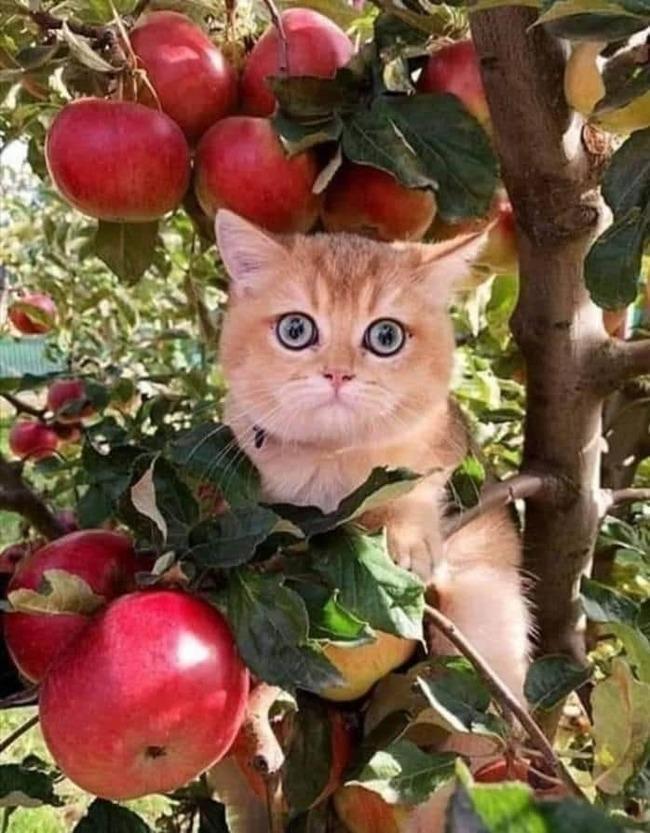 Персик в яблоках