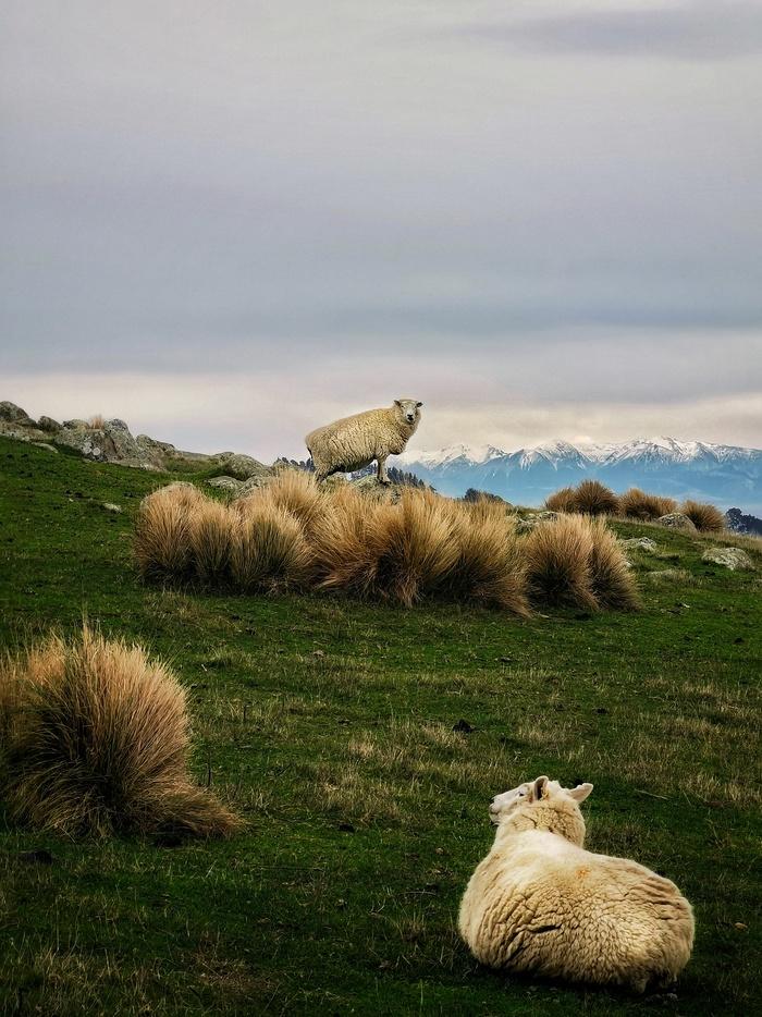 Две овцы на фоне Южных Альп