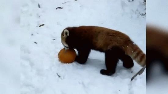 Красная панда: Настолько милые, что даже их поединки добрые и смешные Панда, Красная панда, Кунг-Фу, Книга животных, Яндекс Дзен, Милота, Гифка, Длиннопост