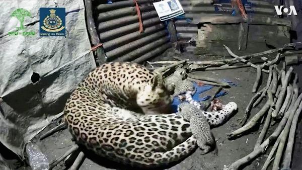 Человек, теперь здесь живу я Леопард, Котята, Индия, Семья, Гифка, Видео