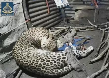 Важные новости из Индии Индия, Леопард, Позитив, Гифка, Детеныш