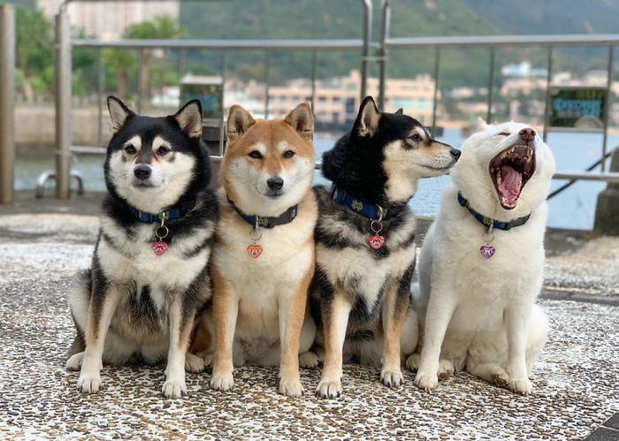 Тот, кто портит фотографии Собака, Сиба-Ину, Длиннопост