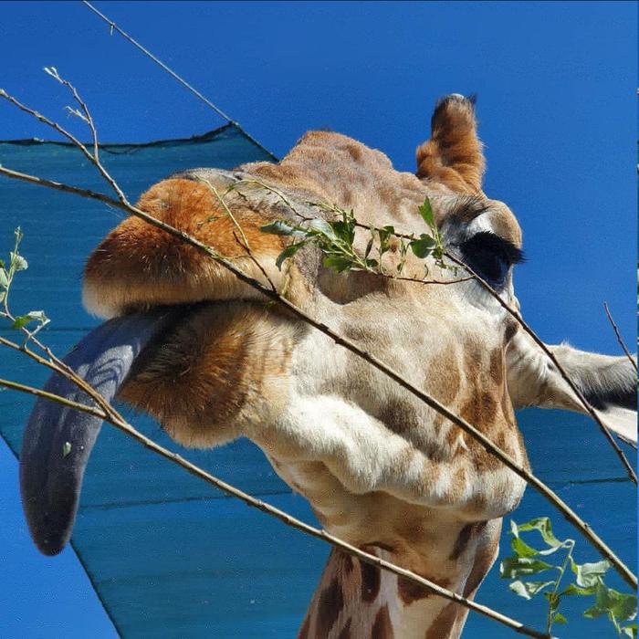 Жирафу достаточно 10 минут в сутки, чтобы выспаться