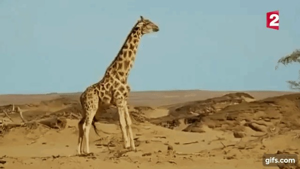 Как дерутся жирафы
