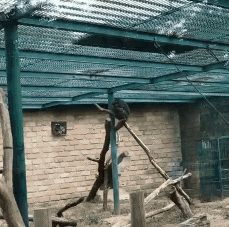 Злой шимпанзе