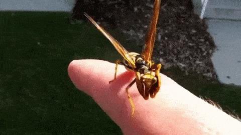 Оса-богомол: Остановите планету, я сойду! Смесь двух жутких насекомых существует Насекомые, Природа, Книга животных, Гифка, Длиннопост