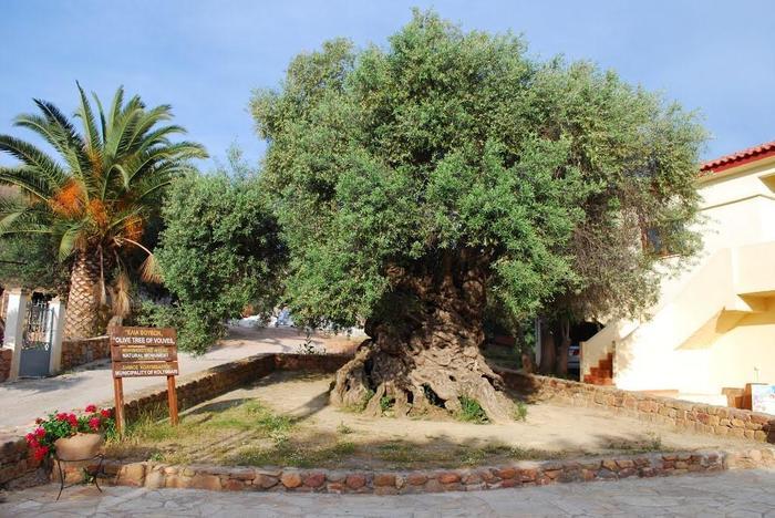 На Крите продолжает плодоносить оливковое дерево, выросшее до нашей эры Крит, Оливковое дерево, Оливки, Интересное, Московский комсомолец, Общество