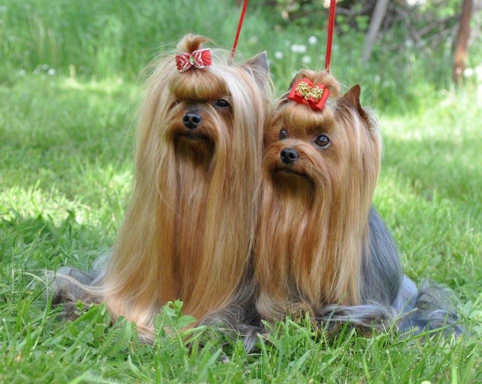 Йоркширский терьер: секреты ухода и содержания, Сайт о маленьких собачках и не только