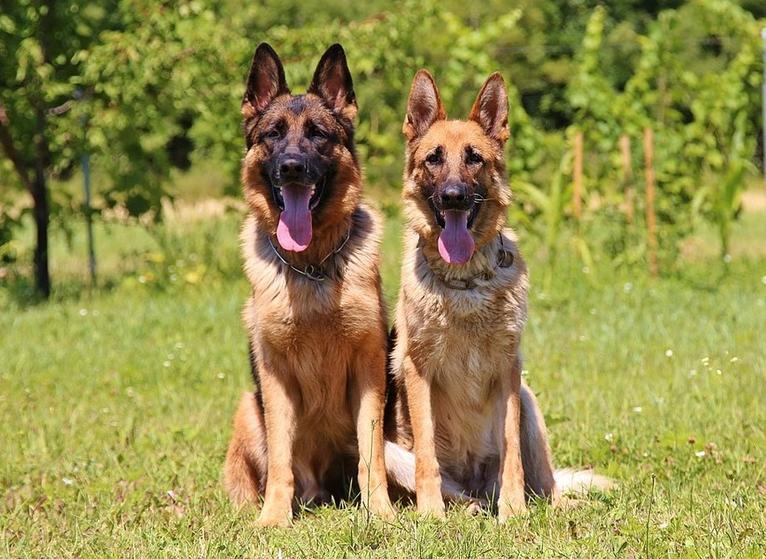 породы собак немецкая овчарка