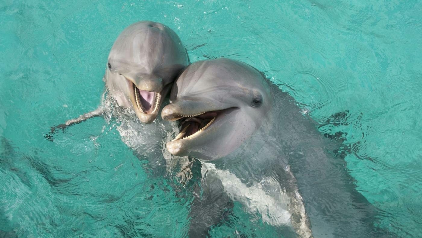 У дельфина есть половой член