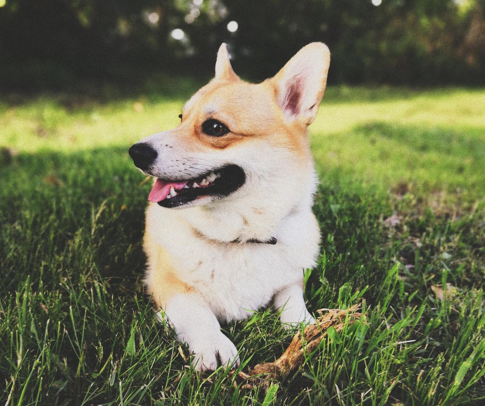 собака коржик порода фото