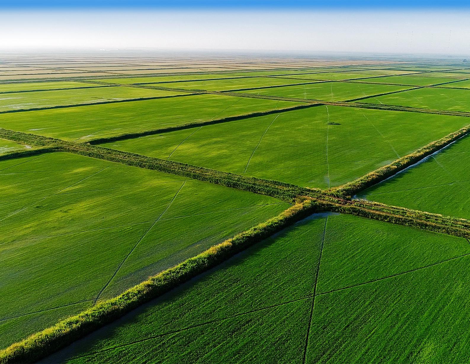 Как выращивают рис в России