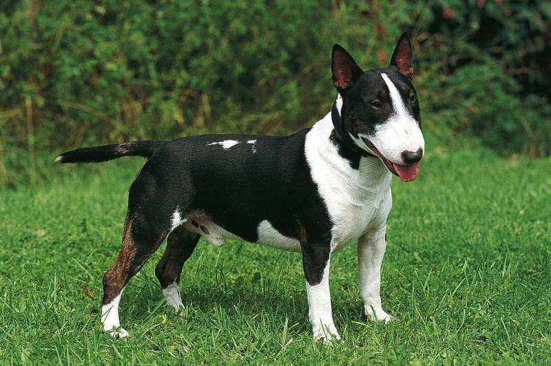 породы собак бультерьер