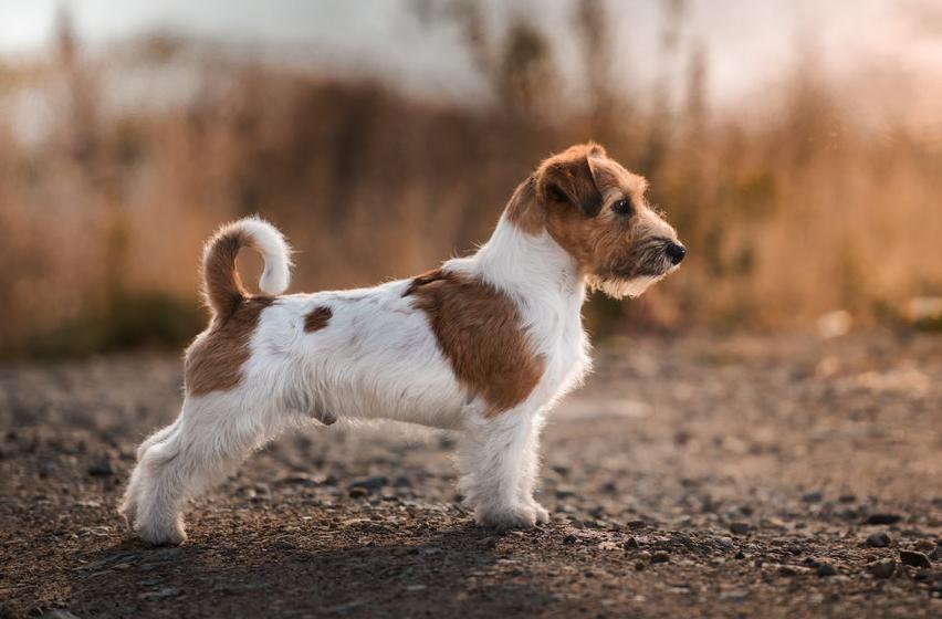 порода собак рассел терьер фото