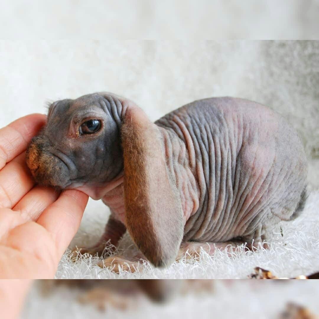 лисий кролик фото