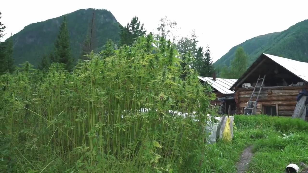 Асуры и конопля где купить марихуану в париже
