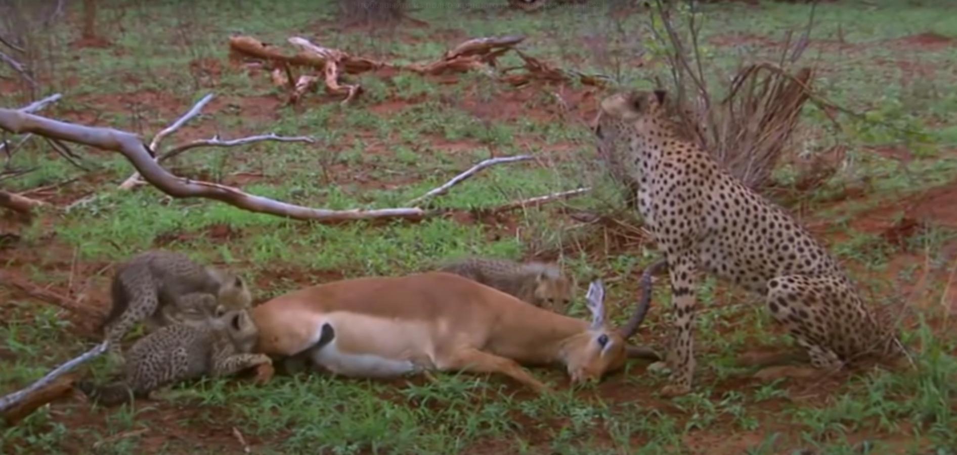 Обои африка, охота, сафари, Кошка, леопард. Кошки foto 3