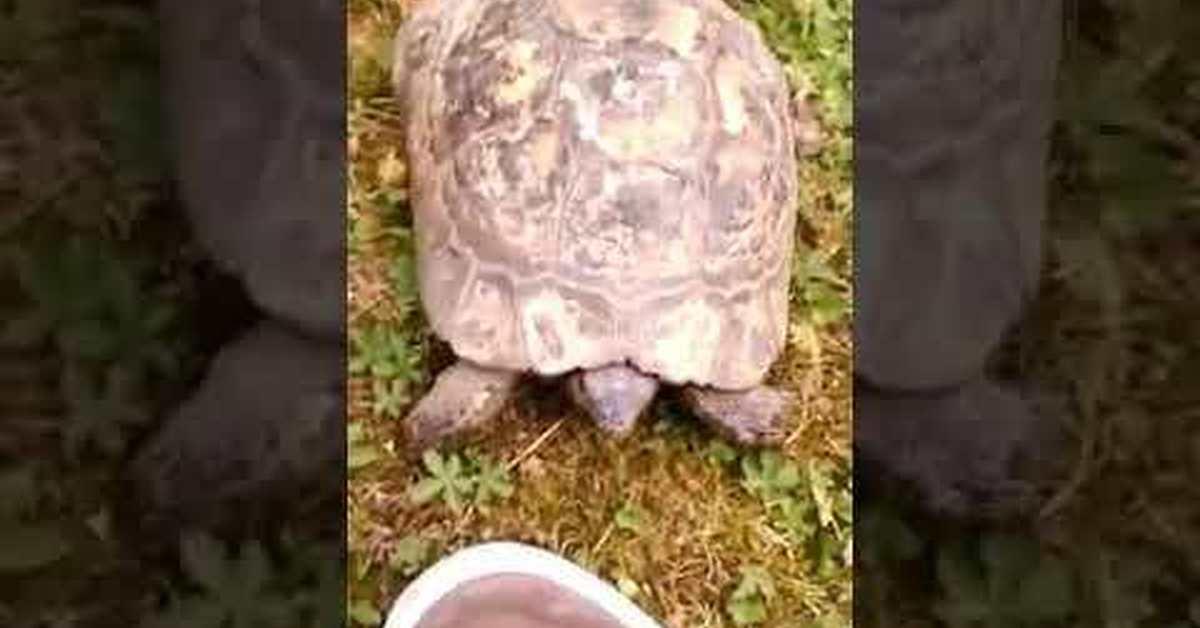 Пиздит третья черепаха